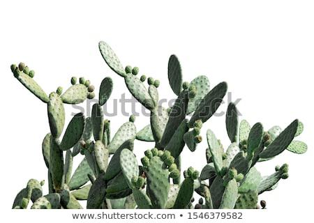 Barbary cactus Stock photo © smithore