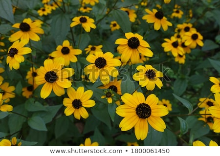 Rudbeckia triloba stock photo © yoshiyayo