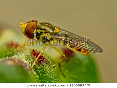 Hover flies  on white flowers plants Stock photo © sweetcrisis
