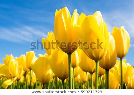 Geel · tulpen · hemel · weide · bloem · natuur - stockfoto © Toltek