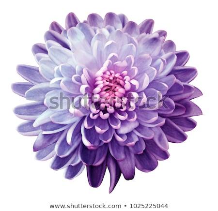 красивой · цветок · хризантема · розовый · изолированный · белый - Сток-фото © supersaiyan3
