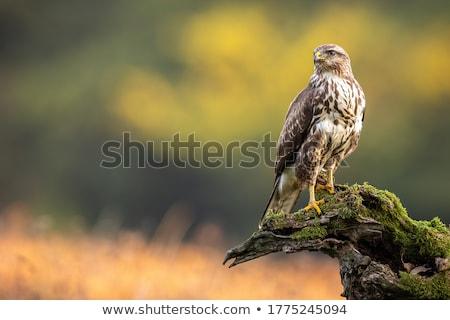 Tollazat ölyv mintázott gyönyörű madár sas Stock fotó © taviphoto