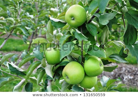 Stock photo: Granny smith apple on a tree