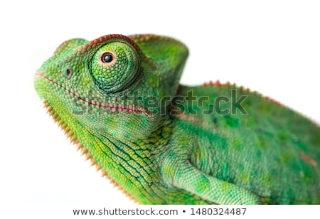 camaleão · lagarto · preto · isolado · espelho · bebê - foto stock © jonnysek