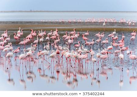 Flamingó repülés Namíbia madár repülés sivatag Stock fotó © imagex