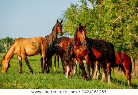 Mustang puesta de sol ilustración vector Foto stock © derocz