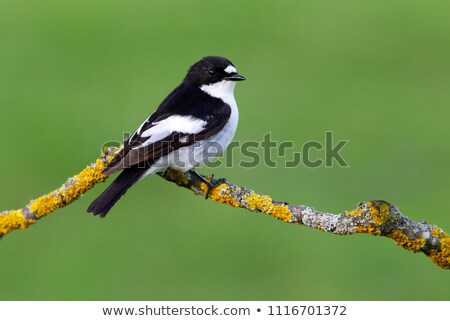 Pied Flycatcher Stock photo © suerob