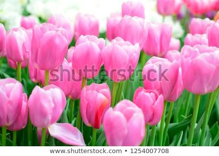 Buquê fresco rosa tulipas luz do sol ao ar livre Foto stock © Moravska