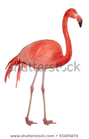 ストックフォト: American Flamingo Cutout