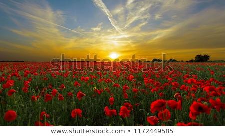 Stockfoto: Poppy · veld · zonsopgang · Rood · klaprozen · heldere