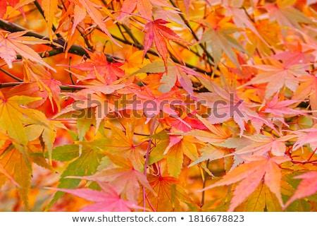 Kırmızı Japon akçaağaç yaprakları ağaç güneş Stok fotoğraf © VisualCorruption