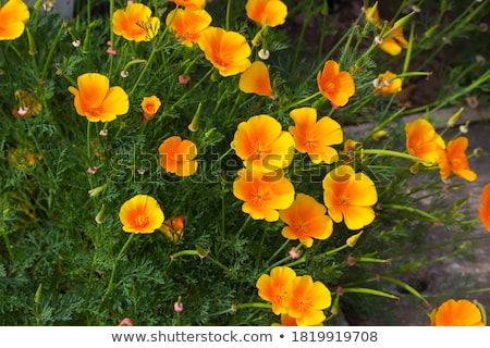 Bloem Californië poppy gouden zonlicht beker Stockfoto © GeniusKp