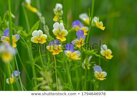 Tricolor kwiaty trawy charakter liści pomarańczowy Zdjęcia stock © vapi