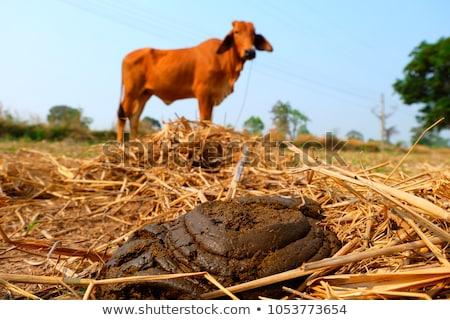 корова · навоз · взрослый · женщины · трава - Сток-фото © photosebia