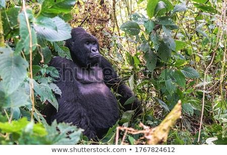 silverback mountain gorilla sitting in the virunga national park stock photo © simoneeman