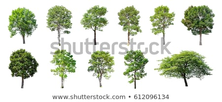 Stock photo: Oak tree isolated