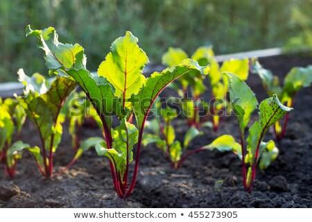 ビートの根 · 成長 · いい · 植物 · 野菜 · パッチ - ストックフォト © naffarts