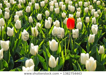 Full framed orange tulip field Stock photo © Zela