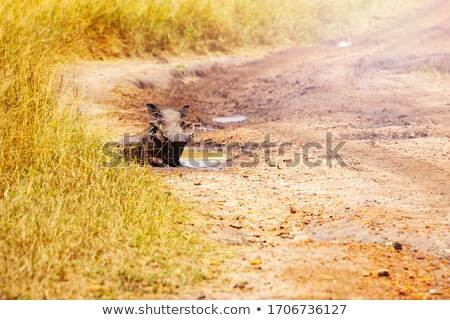 Warthog in puddle. Wild boar in mud. African pig. Wild animal on Stock photo © popaukropa
