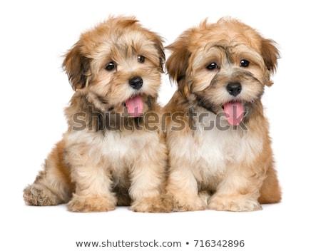 üç · köpekler · güzel · yalıtılmış · beyaz · bo - stok fotoğraf © svetography