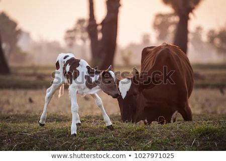 Cow babies Stock photo © fyletto