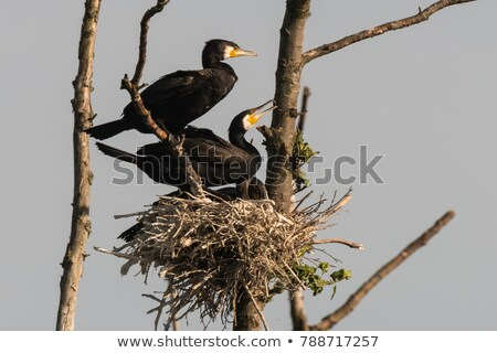 Double-crested Cormorant, Juvenile Stock photo © yhelfman