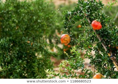 legelő · virágzó · gyümölcsfa · tájkép · fű · növény - stock fotó © amok