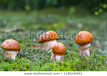 Molti piccolo funghi crescita foresta arancione Foto d'archivio © romvo