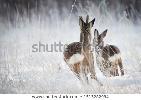 Cute · оленей · зима · лес · украшенный · Рождества - Сток-фото © liolle