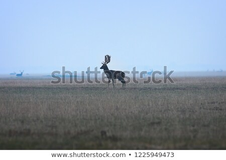 large fallow deer buck on twilight stock photo © taviphoto