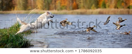 hunter wild duck hunting stock photo © goce