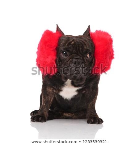 Funny francés bulldog enorme Foto stock © feedough