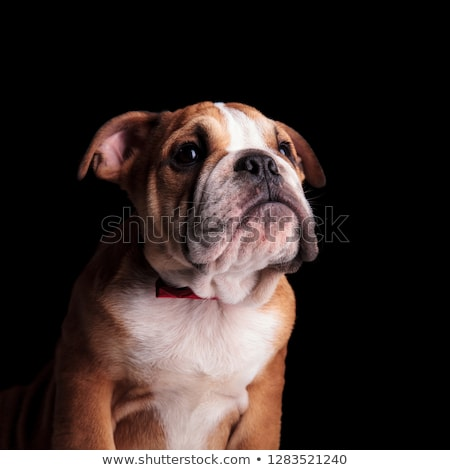 curious english bulldog with red bowtie looking up Stock photo © feedough