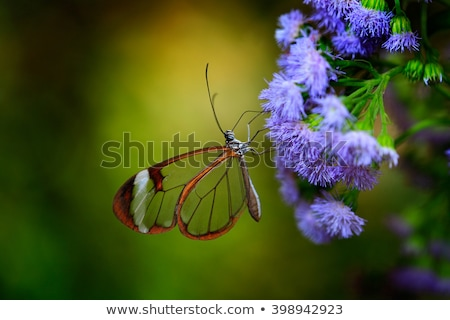 the Glass Winged Butterfly from costa rica Stock photo © Lopolo