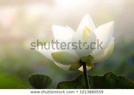Beyaz tomurcuk gölet çiçek yaprak yeşil Stok fotoğraf © boggy