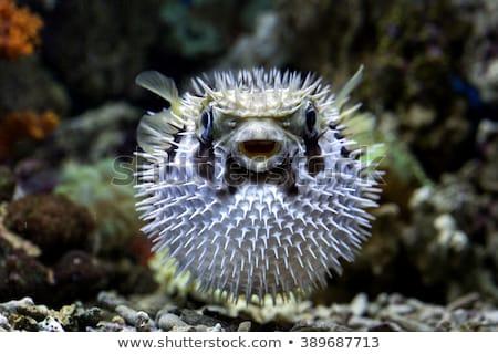 A puffer fish Stock photo © colematt
