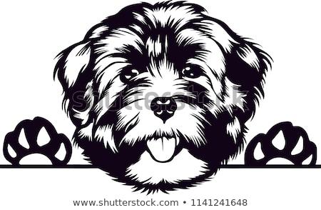 Silhueta bonitinho havanese cão isolado Foto stock © vauvau