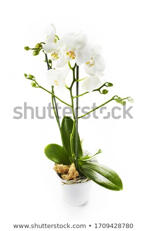 Isoliert Blume Anordnung Glas Vase Stock foto © manfredxy