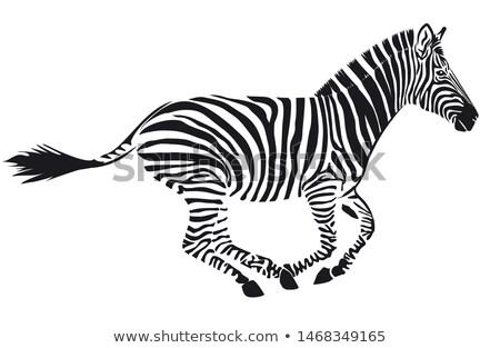 Wild zebra lopen witte illustratie achtergrond Stockfoto © bluering