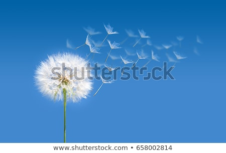 Dandelion seeds is unfolding Stock photo © Ansonstock