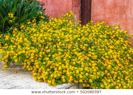 Yellow lantana flower upon the wall Stock photo © Ansonstock