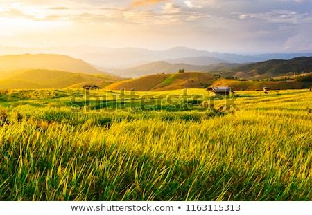 Green paddy fields Stock photo © stoonn