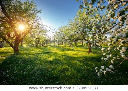 çiçekli · meyve · ağacı · çiçekler · mavi · gökyüzü · bahçe · güzellik - stok fotoğraf © Borissos