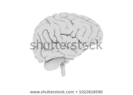 brain isolated on white Stock photo © shutswis