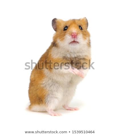 Hamster beyaz portre komik evcil hayvan sevimli Stok fotoğraf © Pakhnyushchyy