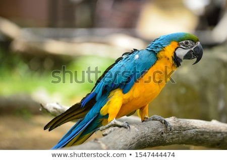 Blue Gold Macaw Yellow Feathers Stock photo © billperry