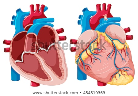 Human Heart Anatomy Stock photo © Lightsource