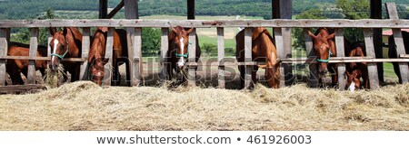 brown foal and horse in corral ranch scene stock photo © goce