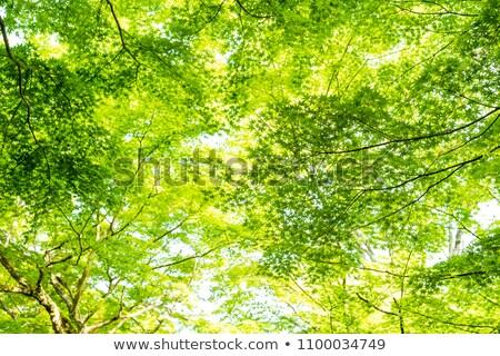 maple leaf against sunrise stock photo © beholdereye