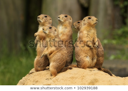 prairie dog rodent animal Stock photo © sirylok